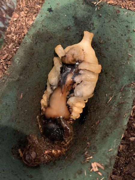 カブト虫の幼虫から蛹になる途中の質問です! この写真の様に、胸〜お腹のあたりにかけて黒いフチの中のドロっとした部分、これは何なのでしょうか? 奇形とかですか? 角も折れ曲がっています。角が口の辺...