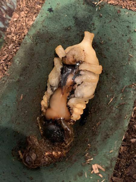 カブト虫の幼虫から蛹になる途中の質問です! この写真の様に、胸〜お腹のあたりにかけて黒いフチの中のドロっとした部分、これは何なのでしょうか? 奇形とかですか? 角も折れ曲がっています。角が口の辺りに曲がっていても成虫になった時にちゃんとゼリーは食べられるのでしょうか?