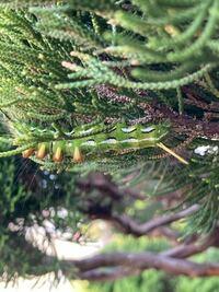 カイヅカイブキにいた毛虫です。 この毛虫の名前を教えてください