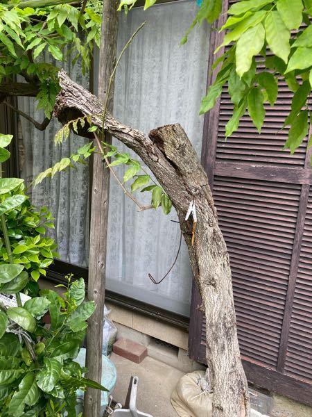 この木は半分折れかかっていますが、 切った方が良いですか?