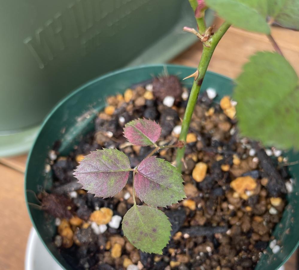 挿し木で育てているバラ、アンブリッジローズですが、葉が赤くなってしまいました。 うどん粉病とも黒星病とも違うようなのですが、何の病気か、対処はできるのかなど、お知恵をいただければと思い投稿しま...