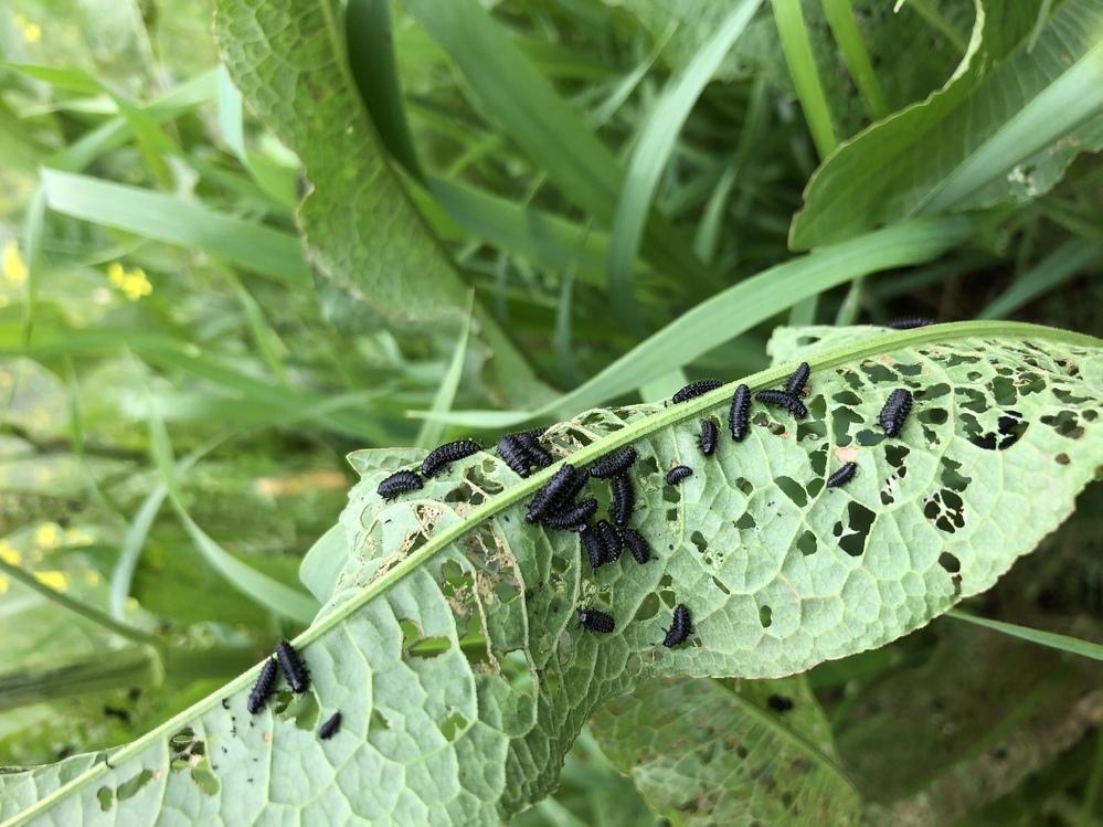てんとう虫の幼虫に似た幼虫が居ましたが、 これは何の幼虫でしょうか?