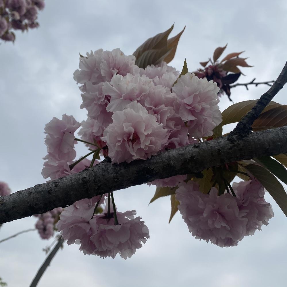 これって牡丹桜(八重桜)ですか?