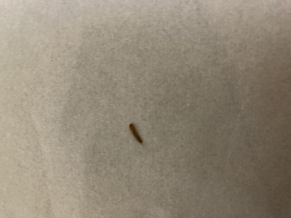 家の中にいた虫について 茶色くて細長くしっぽの部分に毛が生えている芋虫的な虫がいました。害虫ということは知っているのですが、この虫の名前や対処法などを教えてください。うねうね動きます。