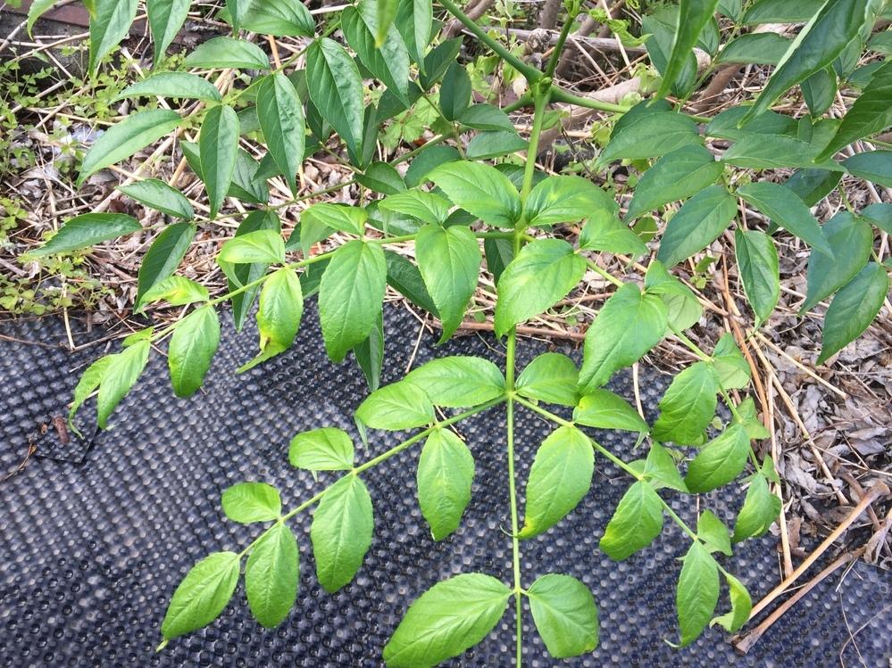 添付写真の植物の名前をご存知の方がいらっしゃいましたら教えてください。