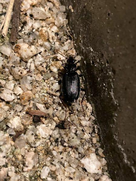 最近この虫が毎日数匹くらい見ます。 壁やその近くの地面、バケツの下などにいます。 名前がよくわからないのでご教授お願いします。 また害虫なのかも教えてください。