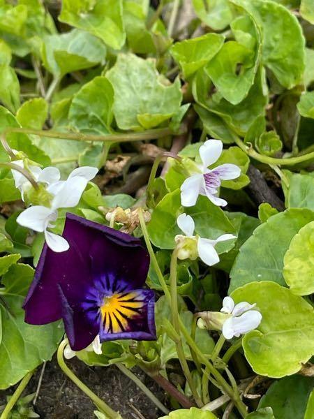 雑草に混じって咲いていた白いスミレなのですが、名前わかる方いますか? 花が小さく、比較対象に紫のビオラを置いて撮っています。