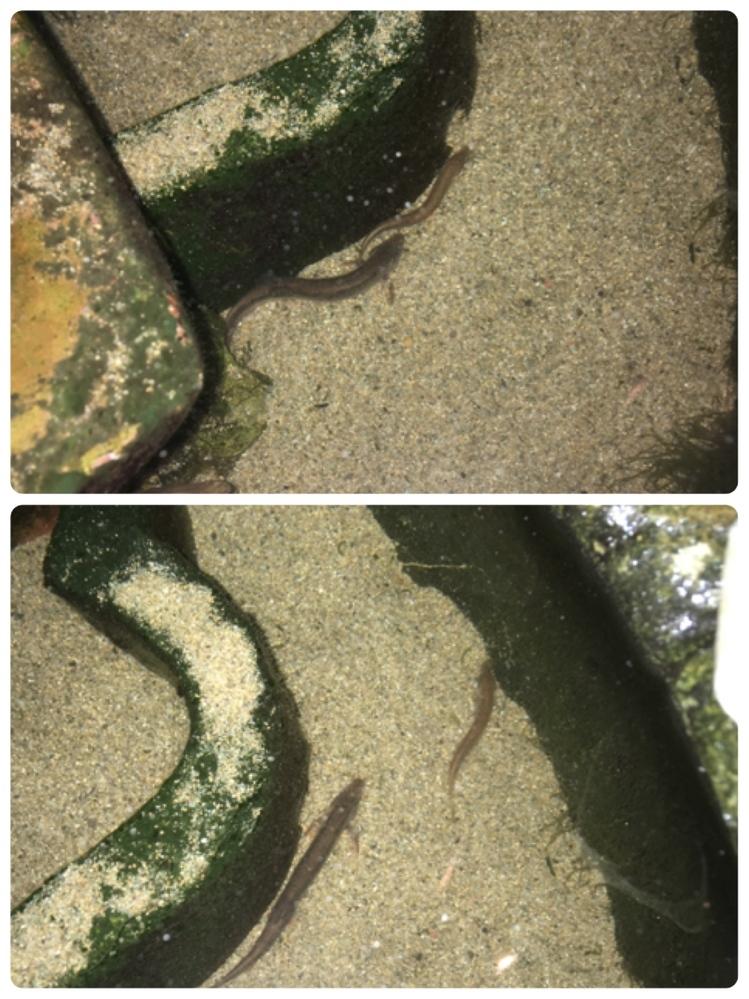 お魚の種類を教えて下さい。 屋外にて金魚と用水路で見つけた黒い魚複数を約5年間飼育しています。 数日前に見覚えのない魚を水槽内で発見しました。 細長くてうなぎ?なまず?うつぼ?のような魚で、這うように泳ぎ、普段は藻の下に隠れています。 画像が分かりにくく申し訳ないですが、よろしくお願い致します。