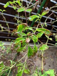 ヤマボウシの葉枯れについて教えて下さい。 画像のようにヤマボウシの葉の端が茶色に枯れてきているように見えます。 これは病気か何かでしょうか? その場合はどのように対処したらよろしいでしょうか? ご存知の方、ご教示下さい。