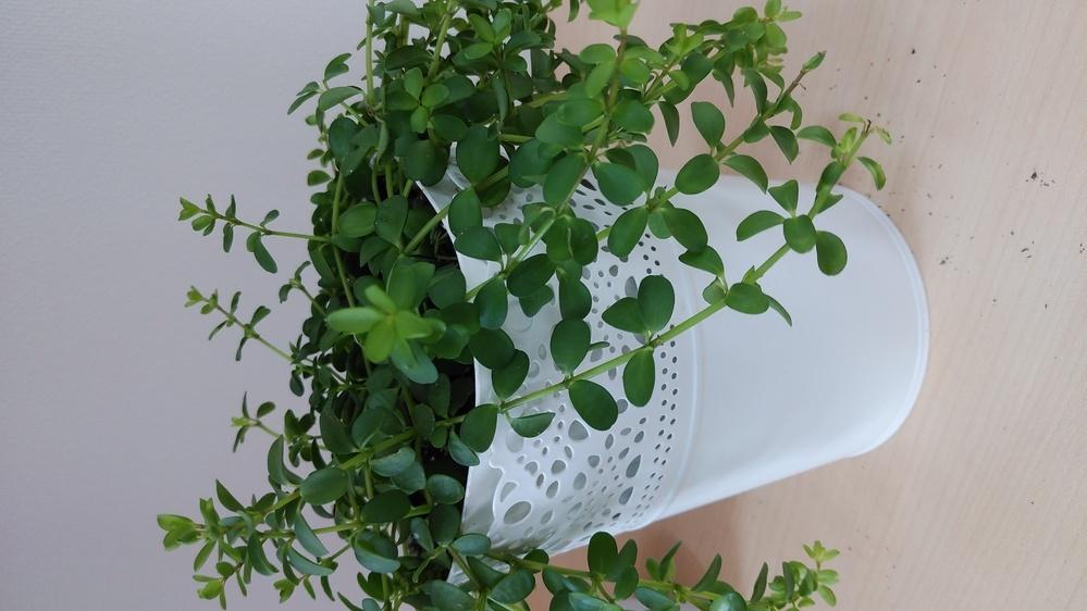 この植物わかりますか? イケアで、購入したんですけど 植物の名前が提示されておらず わからないのですが どなたかわかる方いませんか? 最近、画像の下をみてもらうと わかるとおもうのですが 黒い粒が葉っぱからおちます。 枯れることもなく、まるで 造花かのように緑緑して元気 すぎるほど元気です。