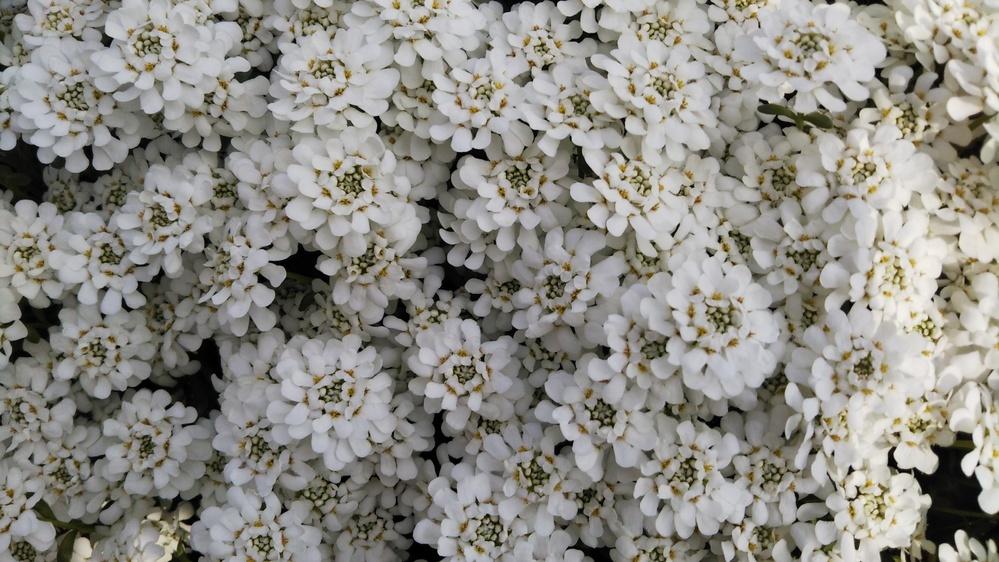 この花の名前を教えてください。 高さ10cm位で株張り80cmぐらいです。 またこの花以外にも、似たような姿の白い花があれば、教えてください。
