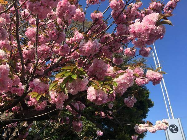 この時期よく見かける花です。なんて名前でしょう?一般的な桜とは違うように思うのですが。
