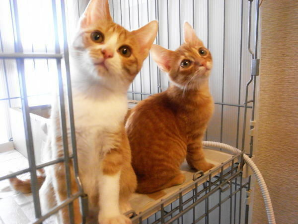 こんにちは 皆さんは どちらが美猫だと思いますか?? 茶トラと茶白の美猫姉妹です!!
