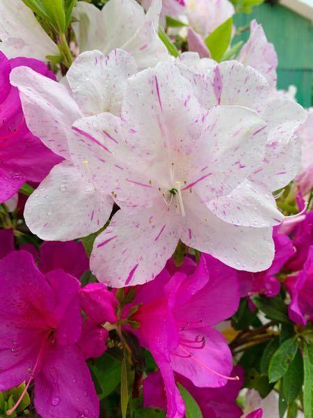 この花は、ツツジで間違いないでしょうか?