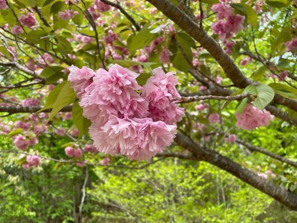 これ何の花ですか? 木に咲いてましたがカーネーションのようなお花でとっても可愛かったです。