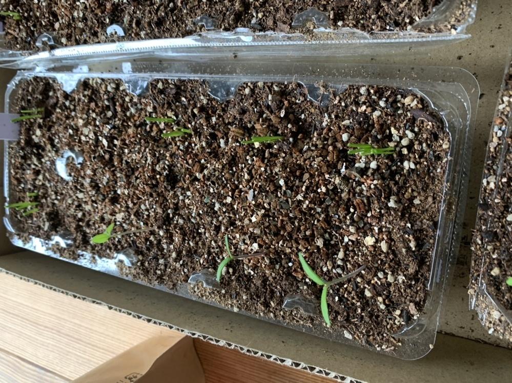卵パックでトマト種子を栽培しました。初心者です。蒔いて10日くらいです。これは、徒長していますか? 水は毎日霧吹きであげています。上手な栽培法を教えて下さい。