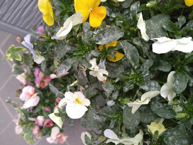 ビオラの葉が白くなっているのに気付いたのですが何だかわかりますか?