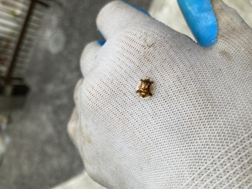 この写真の虫は、何ていう虫でしょうか。 今日裏山の竹などの木を切ったり、雑草を刈っていたら、いつの間にか軍手に付いていました。 身体に見えるところは光って見えます。その身体を覆うようにドーム型の蓋のようなものが乗っています。その蓋のような部分はほとんど透明に近いです。 手足は白っぽいです。