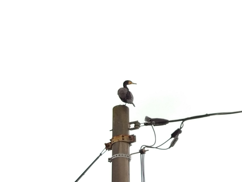 野鳥の糞被害に困っています。 住宅地の電柱に止まっている鳥なのですが、何という鳥か分かる方教えてください。 また、寄って来ないための対策などが分かれば教えていただきたいです。 カラスの嫌がるタカやトンビの鳴き声、モスキート音を流しましたが効果がありません。電力会社に問い合わせましたが、対策には3ヶ月以上かかるとのことでした。自宅前の電柱に毎日止まって糞をするので、新築の庭がとても汚れて困って...