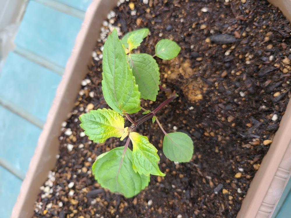 植え付けたシソが黄色くなりました(>_<)! 同時期に植えたミニトマトも同様先っちょが黄色くなりました… 原因は何か分かりますか? このままにしてて元気になるでしょうか(´・ω・`; ) わかる方、よろしくお願いします(。-人-。)