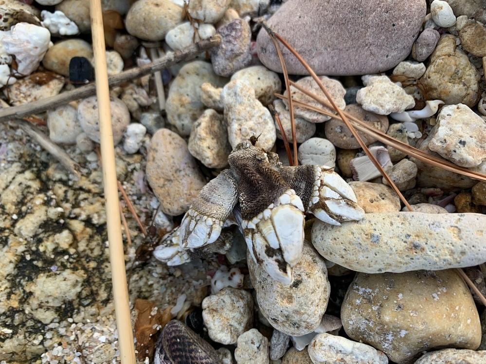 鳥取の海で見つけました。 蟹の一部でしょうか。 生物名がわかれば知りたいです。