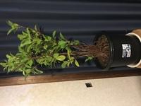 100円ショップで買ったガジュマルを育てて80cmまで成長させました。その間根詰まりする度に大きな鉢に植え替えて、今10号の鉢です。 今、枝が密生し、根詰まりしてます。ただ大きな鉢に植え替えても鉢が大きく、枝が密集する一方です。根と枝は剪定できるのでしょうか?剪定可能なら、どんなふうに切れば良いのでしょうか?