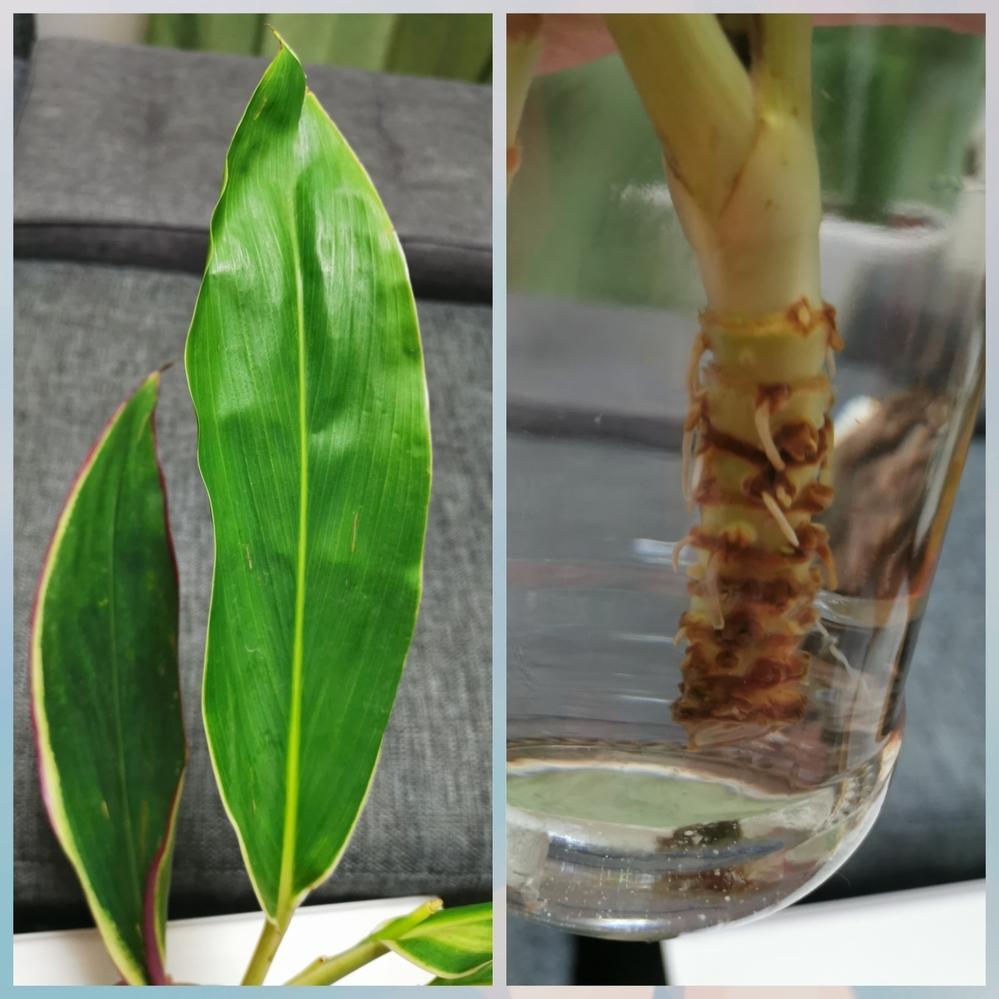 この植物は何という名前でしょうか? また、土に植え替えたら観葉植物として育てることはできますか? 2月末と3月末、それぞれにいただいた花束の中にこの植物がありました。 (赤い筋が入ったものが2月末、筋が入っていないものが3月末にいただいたもの) 他の花が枯れていく中、この植物だけはピンピンしていて、別途水につけていたら白い根っこが何本も生えてきました。 できればこのまま我が家の観葉植物にな...
