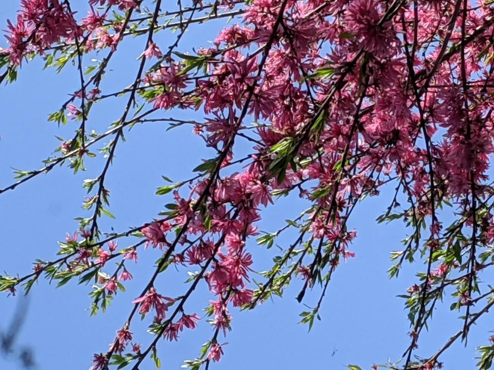 この花の名前をご存知の方教えてください。 毎年4月頃になると濃いピンクで細長い花びらの花が咲きます。 木で、高さはおそらく6mくらいです。