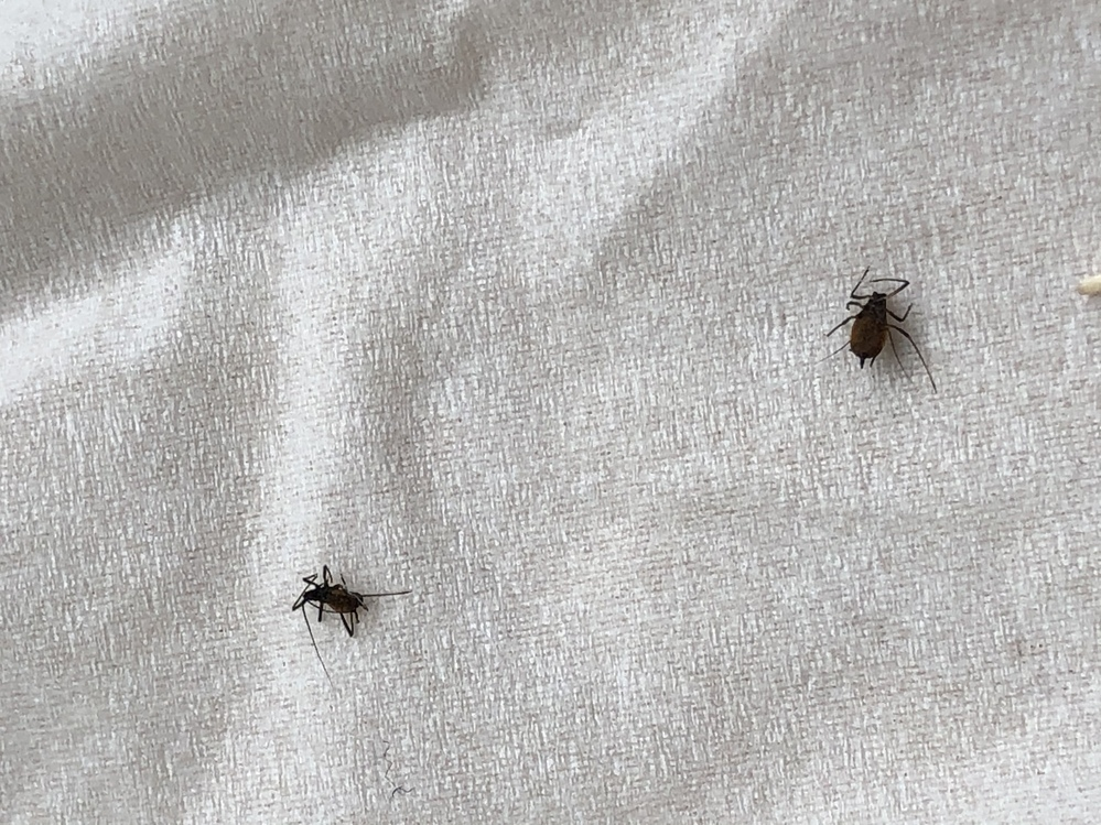 家の中でこの虫が死んでいました。ご存知の方、何の虫かおしえていただけるとありがたいです。黒茶色でお尻に3本トゲ? があり、触覚があります。体調2ミリくらいです。足が長めに見えます。家の中にも似たような虫を見つけ得体の知れない虫で知りたいと思っています。よろしくおねがいします。