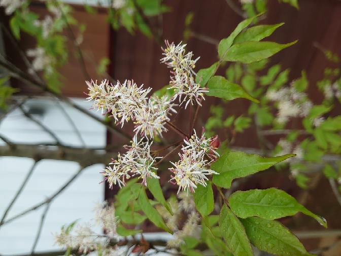 この樹木の花は何の樹木でしょうか?