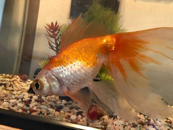 この金魚の種類はなんですか?