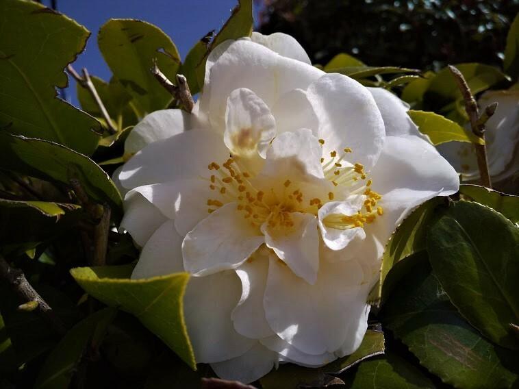 朝の散歩の時、公園の生け垣に、 八重咲のきれいな椿が咲いていたのですが、 名前を書いてある札も見当たりませんでした。 この椿は何という名前ですか? どなたかお教え頂けませんでしょうか。 天の川にも似ていますが、 香具山にも似ているようで、 沢山の種類があって分かりません。 お願い致します。