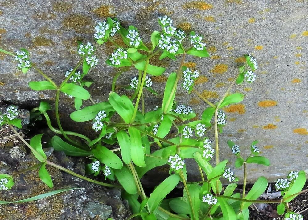 とても小さな白い5弁花です。葉はヘラ状でゆるい鋸歯があります。何という植物でしょうか。