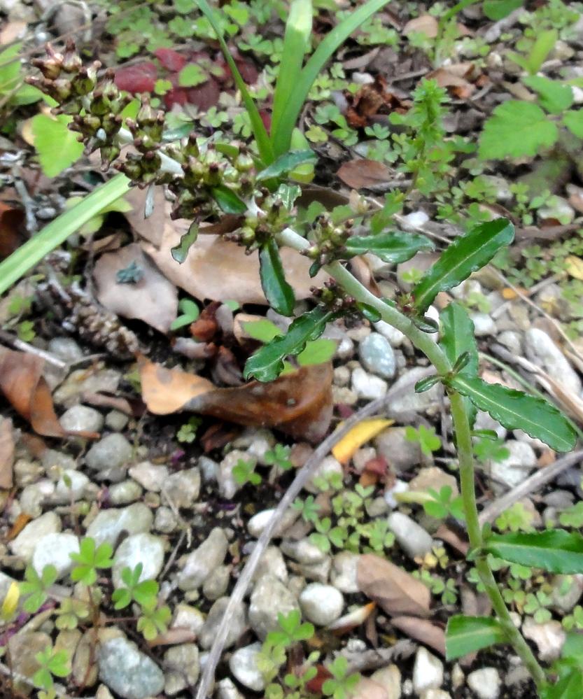 北九州市の我が家の庭に変な野草が生えました。これは一体何と言う植物でしょうか?今日撮りました。