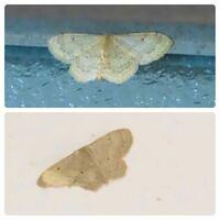 蛾の種類  写真の蛾について 種類が分かる方、ご教示ください。  昨日福岡県で撮影したものです。 上下別個体となります。種類が違う場合は併せてご教示ください。
