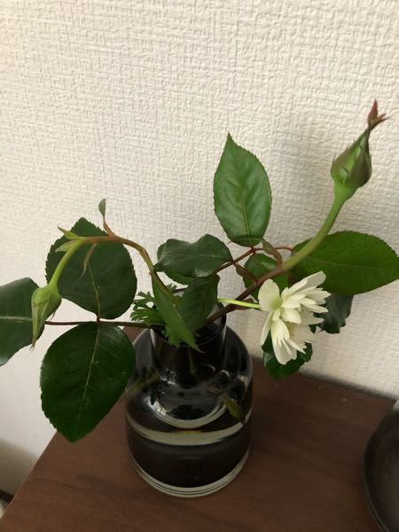 昨夜の強風でバラの蕾が折れてしまい水に生けました。 このバラは開花までするでしょうか まだ蕾は硬く緑色です。
