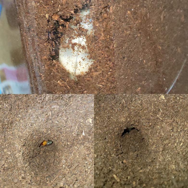 ヒラタクワガタなのですが、土をかえようとしていたら、大きな穴が途中に穴があり、そのなかに幼虫が居ました。 外から見た感じでは蛹室に見えませんが、これは蛹室ですか? また蛹室だった場合、このような状態でも大丈夫でしょうか?