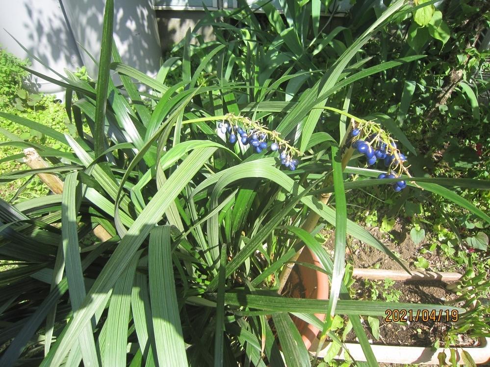 お散歩中 目に止まりました 元気な葉に 綺麗な青紫の実? この植物の名前を ご指導ご教授くださいませ