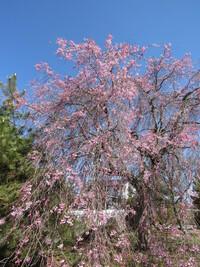 今撮った桜です。(しだれ桜?) 例年周りの桜と比べても開花が遅いのですが、長野県の標高何メートルと思いますか? 1m単位で回答願います。 回答期限が来るまで放置しますが一番近い答えをベストアンサーに選び...