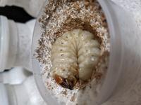 菌糸ビンを交換したのですが1匹の幼虫が潜らず、前の菌糸ビンで蛹室のようなものを作っていました。足は固まっているようです。 しかし、体はまだ曲げたままです。色は黄色ぽっく、節がはっきりしています。人工蛹室に入れた方が良いでしょうか?