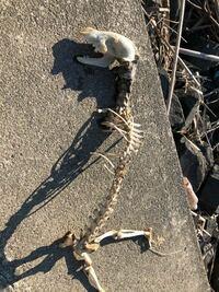 なんの骨でしょうか? 犬歯だらけなので肉食系だと思うのですが。