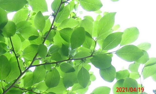 見上げる木に花芽 名前を教えてください、 岐阜県米田白山で、 撮影20210419