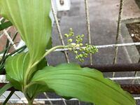 山奥にある祖父母宅の庭から野花を持ってきたのですが このつぼみは何の花かわかりますか?