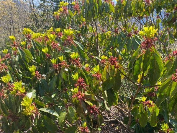 この植物はなんですか? 滋賀県の山間部で撮影しました。