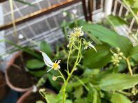 山奥にある祖父母宅の庭から野花を持ってきたのですが この花は何の花かわかりますか?