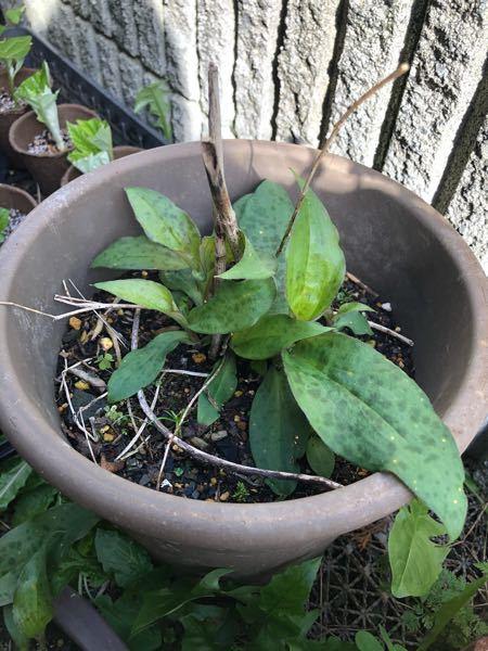 山奥にある祖父母宅の庭から野花を持ってきたのですが この植物は何の花かわかりますか? 庭から持ってきた時は枯れた棒だけついていて、最近写真の葉っぱが出てきました。