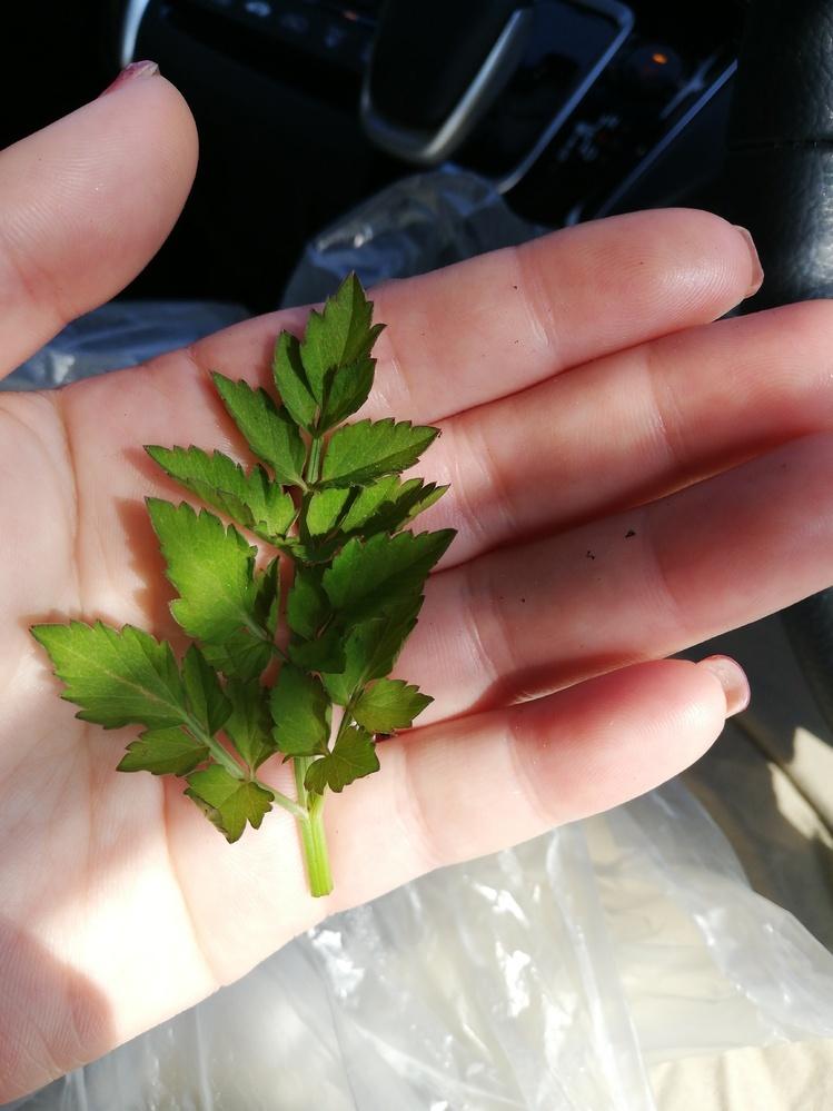 これは、セリですか? セリと、ドクゼリの見分けがつきません。 どのように、見分けたらいいですか? 食べられる植物でしょうか?