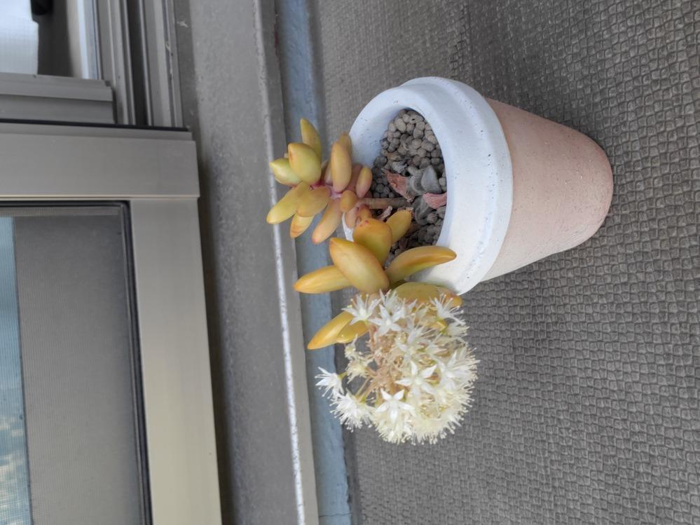 2〜3年前に多肉植物を頂き、なんとなく育てていましたが、花が咲き傾いてきてしまいました。 種類が分からず育て方、対処法も分かりません。 詳しい方いらっしゃいましたら教えて頂きたいです。