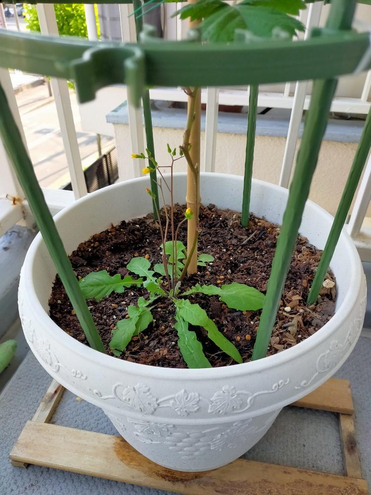 ブラックベリーのこと聞きますたいです。 今年2月ブラックベリー苗を植えたが、 一ヶ月ぐらいで下側から葉っぱが出てきました。写真添付します。最近小さい花も咲いていたが、それはブラックベリーでしょうか。草でしょうか。分かる方がいたら教えてください。 よろしくお願いします。