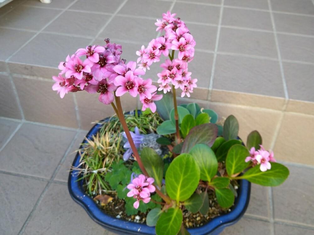 このピンクの花が咲いている植物の品種名を教えて下さい。 ヒマラヤユキノシタのミニチュア版みたいな園芸品種です。